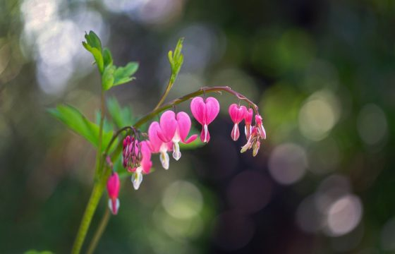 colorado garden bleeding heart flower